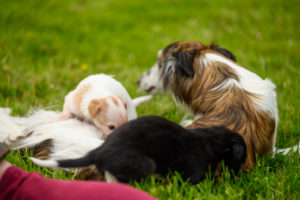 Read more about the article Dahlia Litter – 3 Weeks Old!